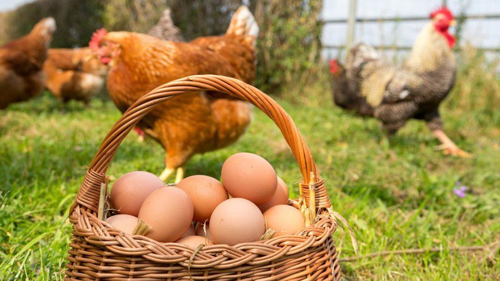 Korb mit Eiern, im Hintergrund Hühner